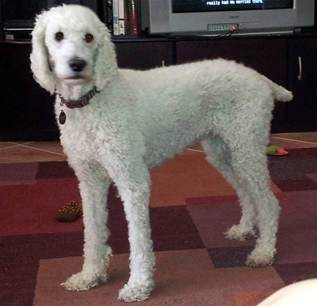 Senior Poodle Dogs For Adoption