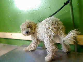 Gardena, CA ~ Stnd Poodle ~ Animal ID# A4628257 Carson Shelter