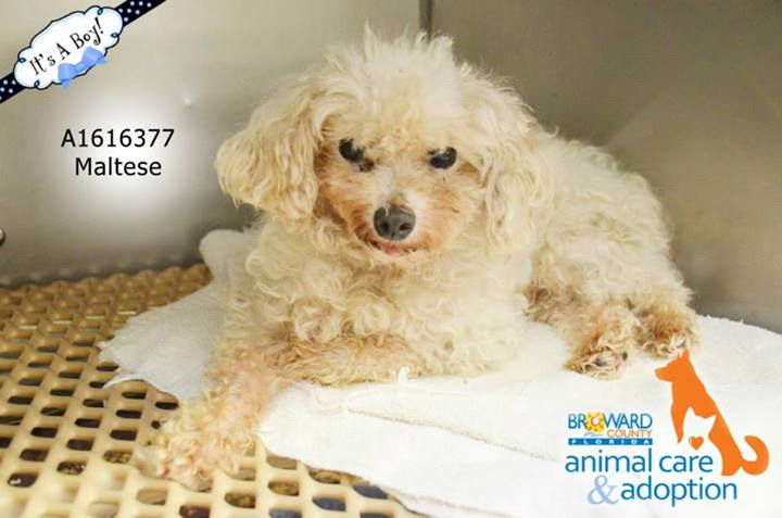 available poodles – florida | OPCA Shelter Network Alliance