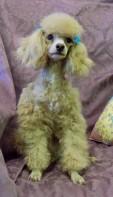 Tatonka! 1-year old Toy Poodle