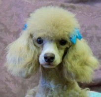 tatonka-the-poodle-toy_Animal-ID#5005146-dog-picture-1